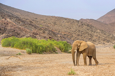 African Elephant (Loxodonta africana) bull adapted to desert life, walking in dry riverbed, Hoanib Desert, Kaokoland, Namibia