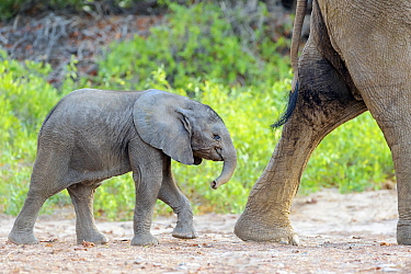 African Elephant (Loxodonta africana)desert-adapted calf following mother in dry riverbed, Hoanib Desert, Kaokoland, Namibia