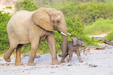 African Elephant (Loxodonta africana), desert-adapted mother and calf walkig in dry riverbed, Hoanib Desert, Kaokoland, Namibia