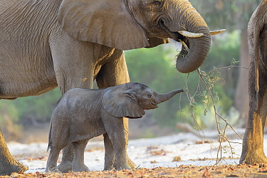 African Elephant (Loxodonta africana), desert-adapted calf playing with browsing mother in dry riverbed, Hoanib Desert, Kaokoland, Namibia