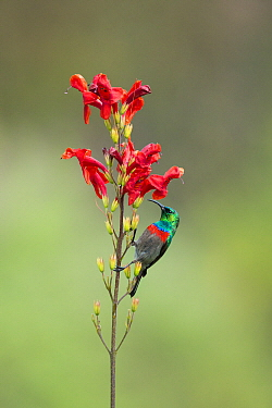 Southern Double-collared Sunbird (Cinnyris chalybeus) male, Garden Route National Park, South Africa