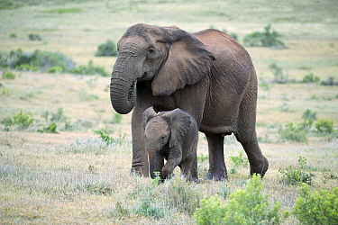 African Elephant (Loxodonta africana) tuskless mother grazing and calf, Addo National Park, South Africa