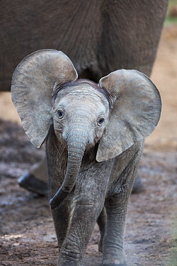 African Elephant (Loxodonta africana) calf, Addo National Park, South Africa
