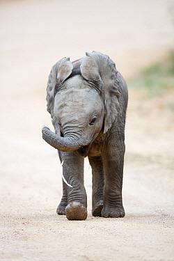 African Elephant (Loxodonta africana) calf playing with litter, Addo National Park, South Africa
