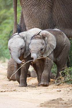 African Elephant (Loxodonta africana) calves playing with branch, Addo National Park, South Africa