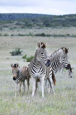 Burchell's Zebra (Equus burchellii) group, Addo National Park, South Africa