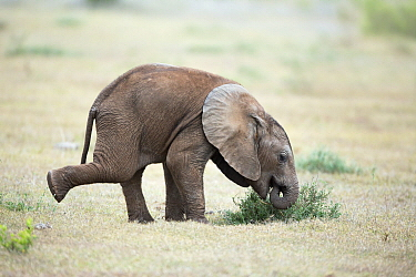 African Elephant (Loxodonta africana) calf foraging, Addo National Park, South Africa