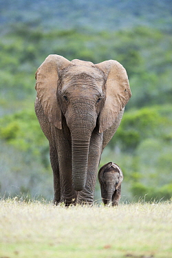 African Elephant (Loxodonta africana) mother and calf, Addo National Park, South Africa