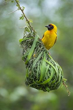 Speke's Weaver (Ploceus spekei) at nest, Tanzania