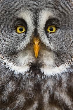 Great Gray Owl (Strix nebulosa), Ontario, Canada