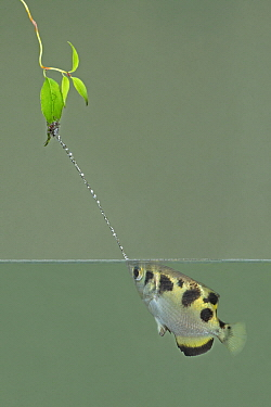 Banded Archerfish (Toxotes jaculator) spitting, native to Asia