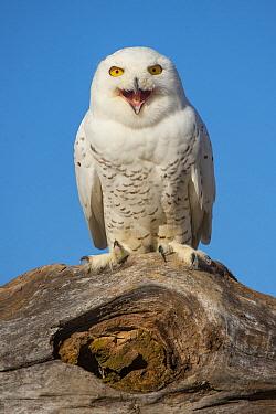 Snowy Owl (Nyctea scandiaca) calling, Ontario, Canada