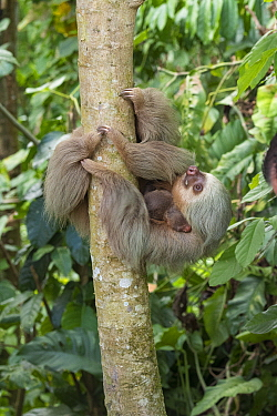 Pygmy Three-toed Sloth (Bradypus pygmaeus) mother carrying young, Costa Rica