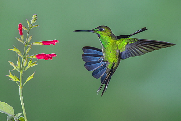 Green-crowned Brilliant (Heliodoxa jacula) hummingbird feeding on flower nectar, Tandayapa Valley, Ecuador
