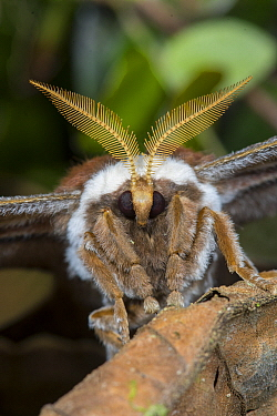 Moth, Tandayapa Valley, Ecuador