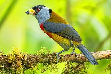 Toucan Barbet (Semnornis ramphastinus), Tandayapa Valley, Ecuador
