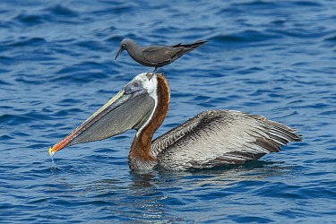 Brown Noddy (Anous stolidus) attempting to snatch fish from Brown Pelican (Pelecanus occidentalis), Galapagos Islands, Ecuador