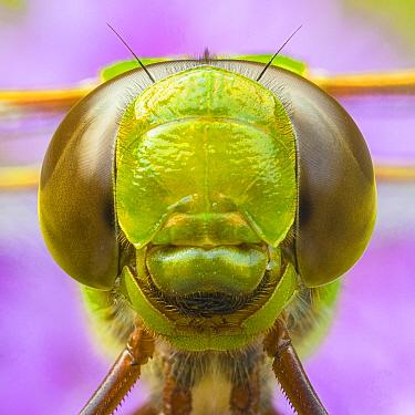 Green Darner (Anax junius) dragonfly showing compound eyes, Brighton Recreation Area, Michigan