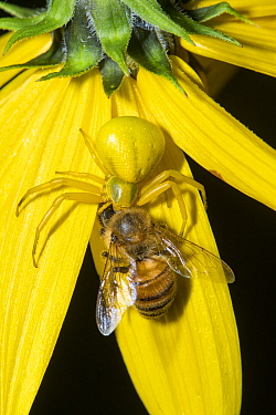 White-banded Crab Spider (Misumenoides formosipes) feeding on bee prey, Ohio