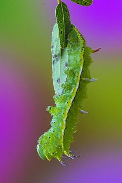 Honey Locust Moth (Syssphinx bicolor) caterpillar, Ohio