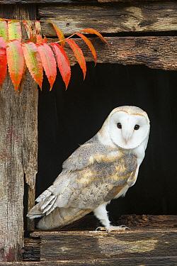 Barn Owl (Tyto alba) in barn window, Howell Nature Center, Michigan