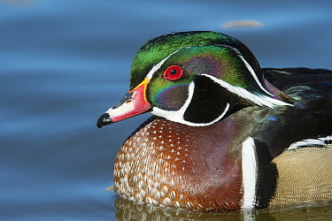 Wood Duck (Aix sponsa) male, New Mexico
