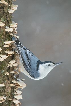 White-breasted Nuthatch (Sitta carolinensis), Brighton Recreation Area, Michigan