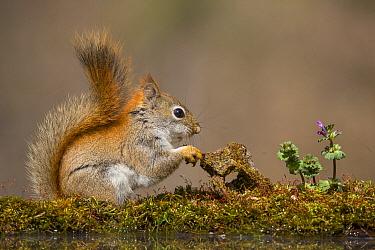 Red Squirrel (Tamiasciurus hudsonicus) at pond, Brighton Recreation Area, Michigan