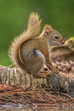 Red Squirrel (Tamiasciurus hudsonicus) young, Brighton Recreation Area, Michigan