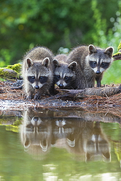 Raccoon (Procyon lotor) three young at pond, Brighton Recreation Area, Michigan