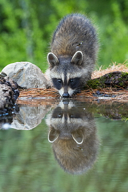 Raccoon (Procyon lotor) young drinking at pond, Brighton Recreation Area, Michigan