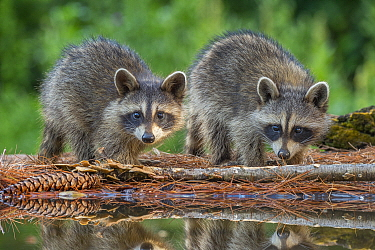 Raccoon (Procyon lotor) pair of young at pond, Brighton Recreation Area, Michigan