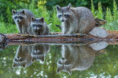 Raccoon (Procyon lotor) family at pond, Brighton Recreation Area, Michigan