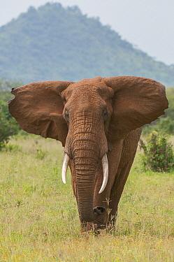 African Elephant (Loxodonta africana) bull, Tarangire National Park, Tanzania