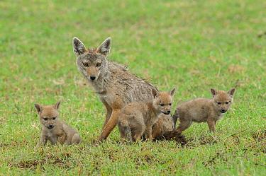 Golden Jackal (Canis aureus) parent with pups, Ngorongoro Crater, Ngorongoro Conservation Area, Tanzania