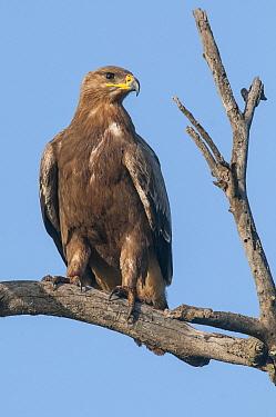 Tawny Eagle (Aquila rapax), Tarangire National Park, Tanzania