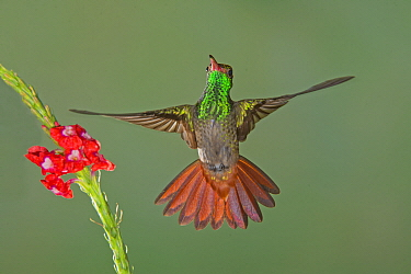 Variable Mountain-gem (Lampornis castaneoventris) hummingbird flying, Costa Rica