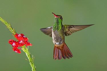 Rufous-tailed Hummingbird (Amazilia tzacatl) flying, Costa Rica