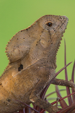 Jesus Christ Lizard (Basiliscus vittatus), Costa Rica