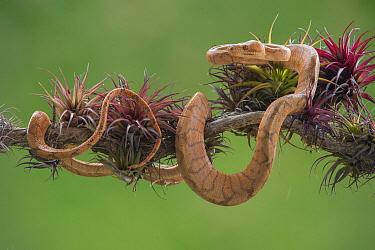 Boa Constrictor (Boa constrictor) young, Costa Rica