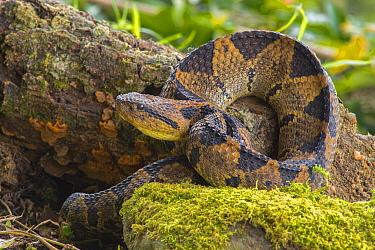 Picado's Pitviper (Atropoides picadoi), Costa Rica