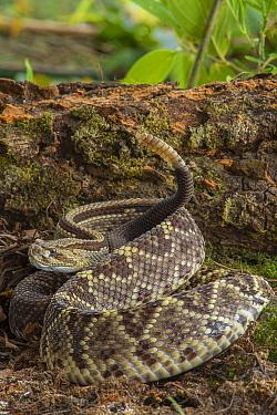 Central American Rattlesnake (Crotalus simus) in defensive posture, Costa Rica