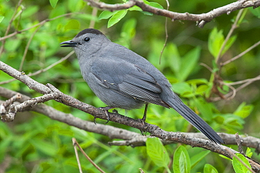 Gray Catbird (Dumetella carolinensis), Magee Marsh Wildlife Area, Ohio