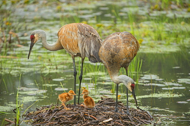 Sandhill Crane (Grus canadensis) family in nest, Kensington Metropark, Michigan