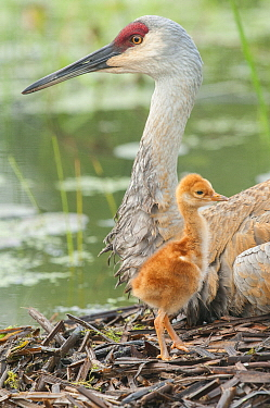 Sandhill Crane (Grus canadensis) parent with chick in nest, Kensington Metropark, Michigan