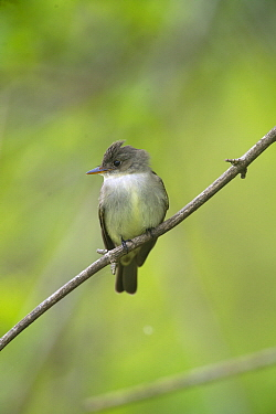 Eastern Wood-Pewee (Contopus virens), Magee Marsh Wildlife Area, Ohio