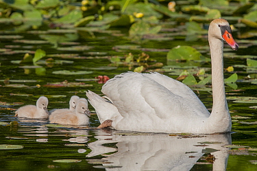 Mute Swan (Cygnus olor) parent with cygnets, Kensington Metropark, Michigan