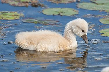 Mute Swan (Cygnus olor) cygnet, Kensington Metropark, Michigan