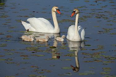 Mute Swan (Cygnus olor) family, Kensington Metropark, Michigan