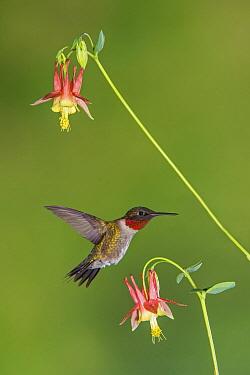 Ruby-throated Hummingbird (Archilochus colubris) feeding on flower nectar, Huron Meadows Metropark, Michigan